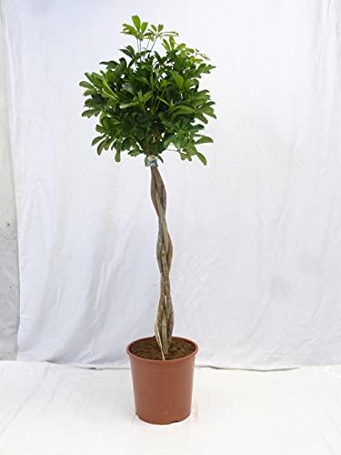[Palmenlager] - XXL Schefflera arboricola 160(!) cm - Hochstamm geflochten -...