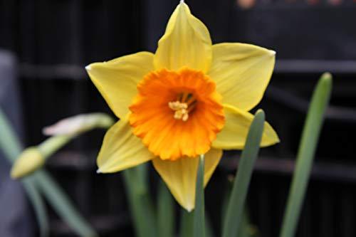 Blumenhandel Ullrich Großblumige Narzissen Fortune Blumenzwiebeln Narcissus (20 Blumenzwiebeln)