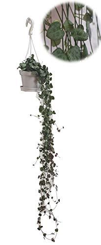 Leuchterblume, hängend, (Ceropegia woodii ssp. woodii), sehr pflegeleichte, hängende Zimmerpflanze...