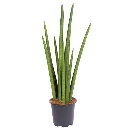 Pflanzen Kölle Bogenhanf, Sansevieria cylindrica 'Rocket', Höhe ca. 70 cm