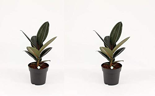 Gummibaum 20-25 cm 2 Stück Ficus elastica Abidjan Zimmerpflanze