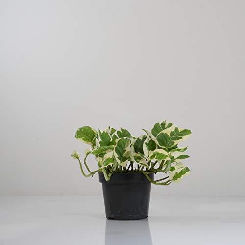 Indoor-Helden Efeutute Epipremnum pinnatum 'N-Joy' - Zimmerpflanze rankend