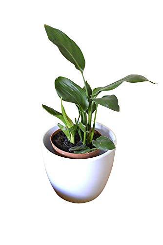 Zimmerpflanze für Wohnraum oder Büro – Königin-Strelitzie – PARADIESVOGELBLUME