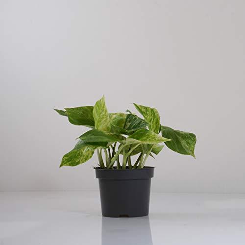 Indoor-Helden Epipremnum pinnatum 'Marble Queen' - Efeutute rankende Zimmerpflanze luftreinigend