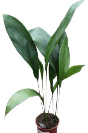 Zimmerpflanze für Wohnraum oder Büro – Aspidistra elatior – Schusterpalme 50cm