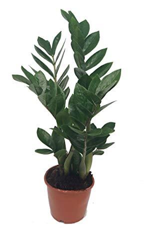 Glücksfeder, (Zamioculcas zamiifolia), Zamie, Zamia Farn, Zamia Palme, pflegeleichte Zimmerpflanze...