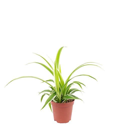 Grünlilie 'Ocean' Smit Bambino - Chlorophytum ocean - Höhe ca. 15 cm, Topf-Ø 5,5 cm
