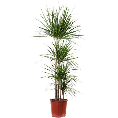 Gerandeter Drachenbaum 4er Tuff: 90-60-30-15 cm - Dracaena marginata - Höhe ca. 155 cm, Topf-Ø 27...