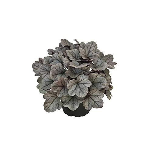 Heuchera - Purpurglöckchen'Silver Gumdrop' - winterhart, im Topf 12 cm, in Gärtnerqualität von...