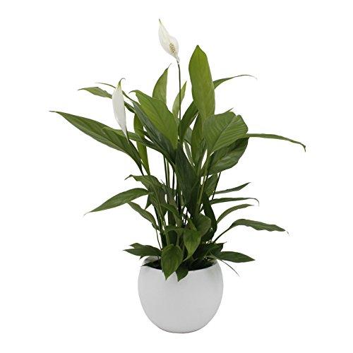 Dominik Blumen und Pflanzen, Spathiphyllum im Topf 'Cresto Weiß' Zimmerpflanze, Grün, 40 x 20 x 20...