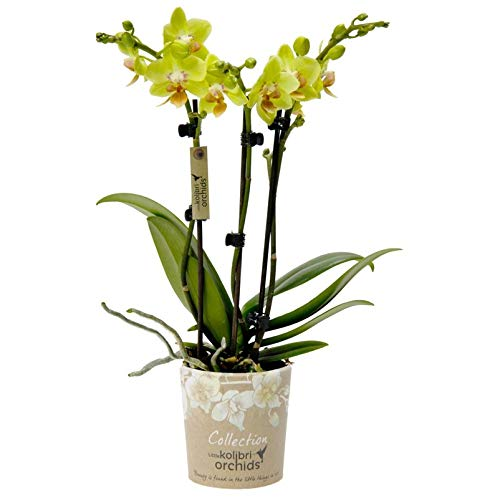 Pflanzen Kölle Schmetterlingsorchidee, 3 Rispen, gelb, Höhe ca. 30 cm