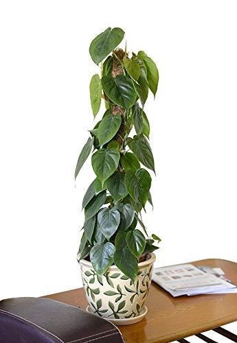 Zimmerpflanze für Wohnraum oder Büro – Philodendron scandens – Kletterphilodendron