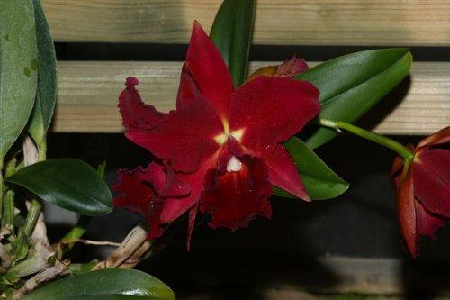 1 blühfähige Orchidee der Sorte: Slc. Mae Hawkins 'Miya', 13-14cm Topf