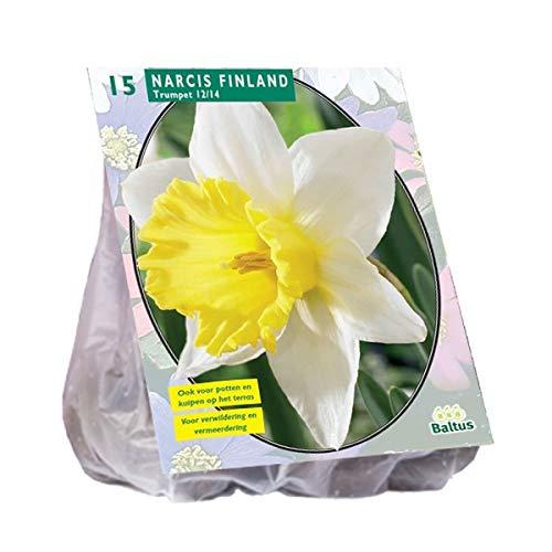 Narcis Finland 15 Stück Osterglocken Narzissen Blumenzwiebel
