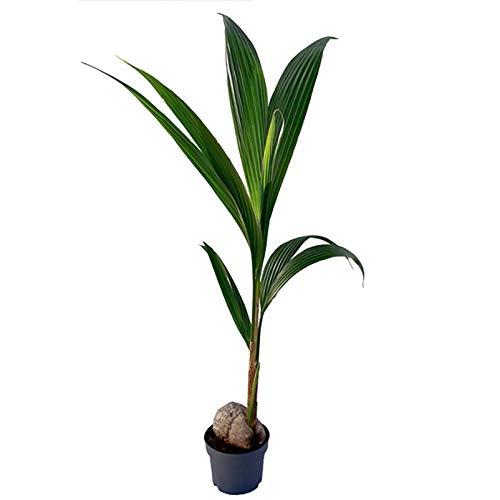 Pflanzen Kölle Kokospalme, Cocos 'Nucifera', Gesamthöhe ca. 130 cm
