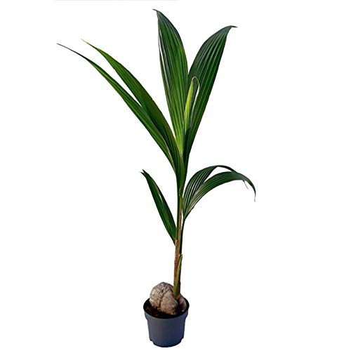 Pflanzen Kölle Kokospalme, Cocos Nucifera, lichtaffin, Topf 19 cm, Höhe ca. 130 cm