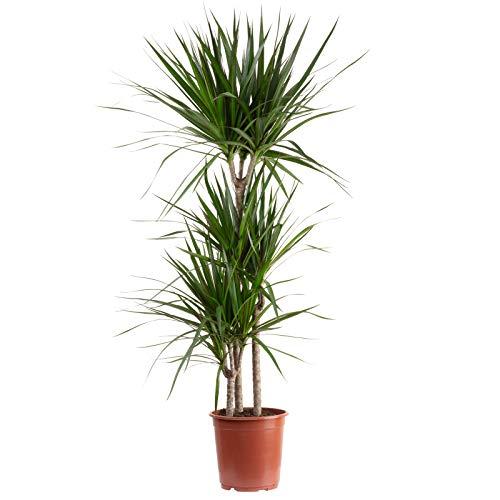 Gerandeter Drachenbaum 3-Stamm - Dracaena marginata - Höhe ca. 120 cm, Topf-Ø 21 cm