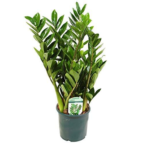 Pflanzen Kölle Kompakte Glücksfeder, Zamioculcas zamiifolia 'Lucky', Höhe ca. 40 cm