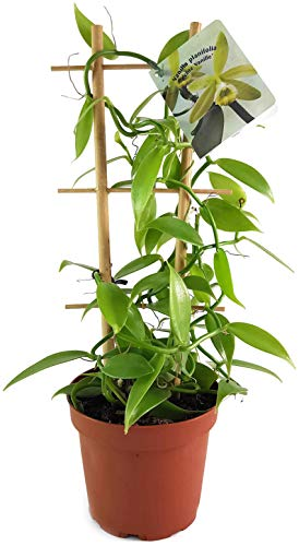 Fangblatt - Vanilla planifolia - die echte Vanille Orchidee als zauberhafte Zimmerpflanze ebenso...
