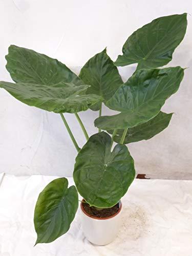 [Palmenlager] - Alocasia'wentii'- Elefantenohrpflanze - 100/120 cm/Zimmerpflanze mit riesigen(!)...