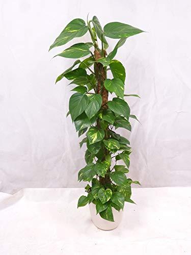 [Palmenlager]- Epipremnum pinnatum - Efeutute 150/160 cm - Kletterpflanze // Zimmerpflanze