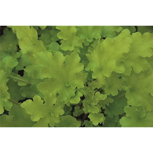 Heuchera - Purpurglöckchen 'Lime Marmalade' - winterhart, im Topf 12 cm, in Gärtnerqualität von...