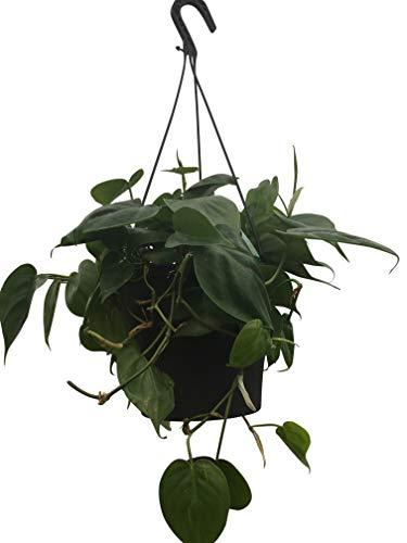 Zimmerpflanze - Philodendron scandens - Baumfreund - in einem 15cm hängenden Topf und ca. 50cm...