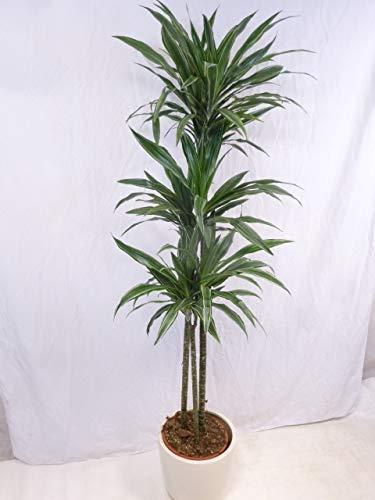 [Palmenlager] Dracaena Warneckii 3er Tuff - 190 cm - Hochstamm/Drachenbaum/pflegeleichte...