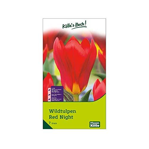 Kölle's Beste! Wildtulpen 'Red Night', rot, Größe 11/12, 7 St.