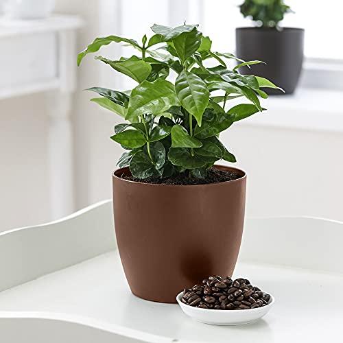 Coffea arabica | Rubiaceae | Kaffeepflanze inkl. duftendem Ziertopf | Höhe 30 cm | Topfgröße Ø...