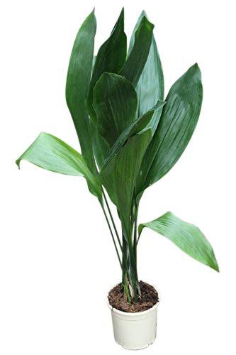 Zimmerpflanze für Wohnraum oder Büro - Aspidistra elatior - Schusterpalme 85 cm - GROSSE PFLANZE...