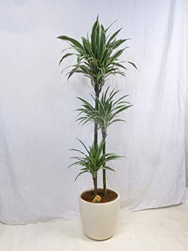 [Palmenlager] Dracaena deremensis'White Stripe' - 3er Tuff 160 cm - Drachenbaum/Zimmerpflanze mit...