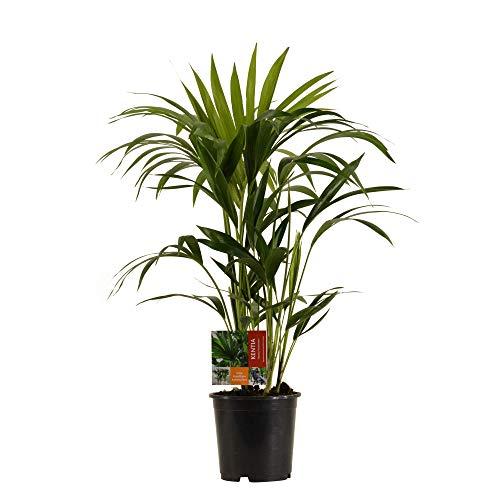Howea forsteriana XL | Kentia Palme | Zimmerpflanze | Höhe 80-90cm | Topf-Ø 19cm