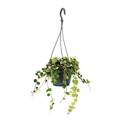 Exotenherz - Zimmerpflanze zum Hängen - Hoya curtisii - Wachsblume 14cm Ampel