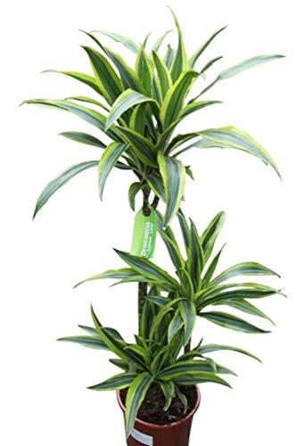"""Zimmerpflanze für Wohnraum oder Büro – Dracaena fragrans – """"Lemon and Lime"""". Höhe 1,20m"""