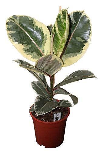 Zimmerpflanze für Wohnraum oder Büro – Ficus elastica variegata – bunter Gummibaum. Höhe ca....