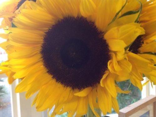 JustSeed - Sonnenblumen Schule Großße Einzelne in Gelb - 300 Samen