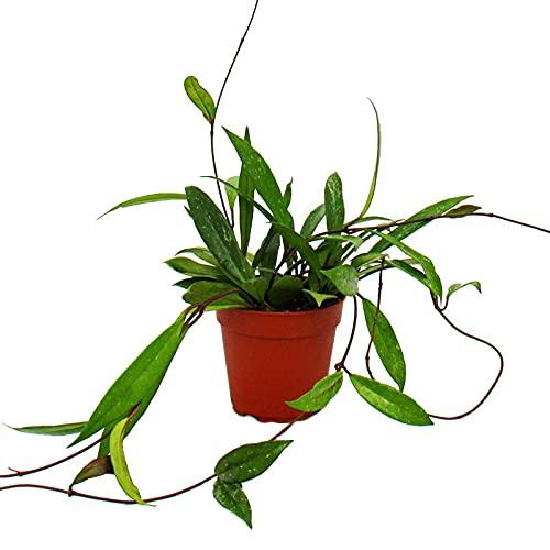 Exotenherz - Zimmerpflanze hängend - Hoya pubicalyx - Porzellanblume - Wachsblume - 12cm Topf