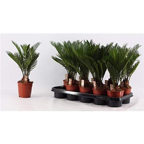 Cycas Revoluta ca. 30 cm 3 Wedel Palmfarn Sagopalme Zimmerpflanze