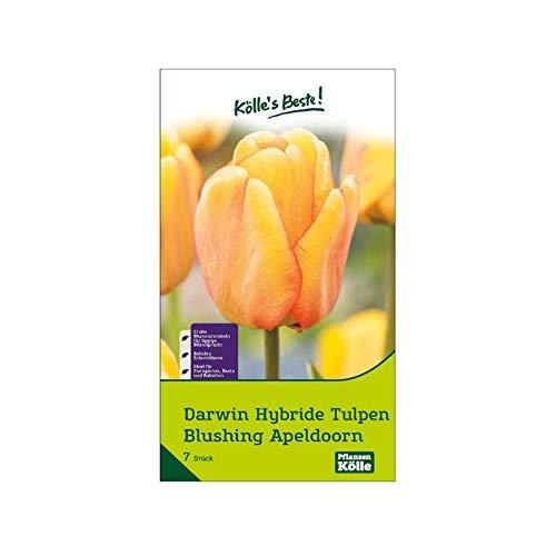 Kölle's Beste! Darwin Hybride Tulpen 'Blushing Apeldoorn', rot, gelb, Größe 11/12, 7 St.