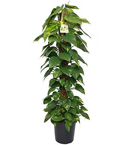 BALDUR-Garten Zimmerpflanze Efeutute am Moosstab ca. 100 cm hoch, 1 Pflanze Luftreinigende...