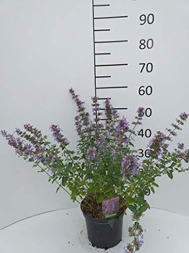 Späth Staude Katzenminze 'Walker's Low' violett blühend, Stauden winterhart mehrjährig im 3 Liter...