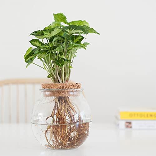 Hydrokultur Pflanzen Set | Purpurtute Pflanze | Zimmerpflanzen Ökosystem im Glas | Höhe 25-35 cm |...