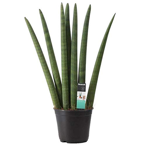 Pflanzen Kölle Bogenhanf, Sansevieria cylindrica 'Fan' Höhe 50 cm, Topf 14 cm