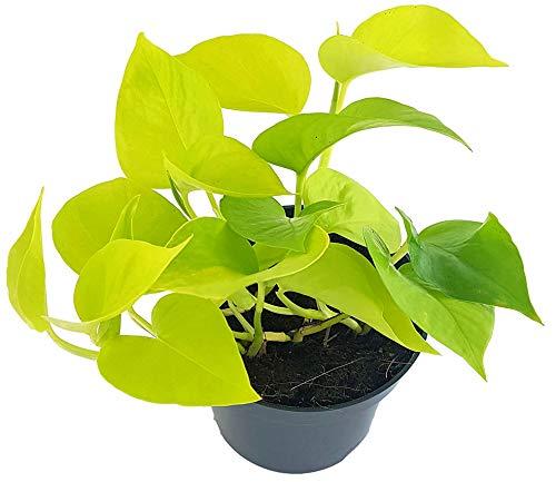 Fangblatt - Epipremnum 'Golden Pothos' - leuchtend gold-gelbe Efeutute - strahlende Grünpflanze im...