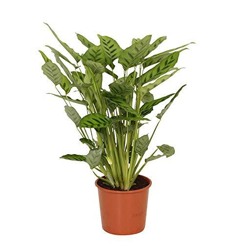 Calathea leopardina   Korbmarante   Exotische Zimmerpflanze   Höhe 65-70 cm   Topf-Ø 17 cm
