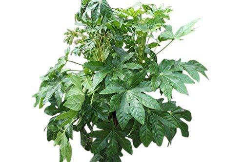 Zimmerpflanze für Wohnraum oder Büro – Japanische Aralia Spider – Christuspalme, ca. 30cm...