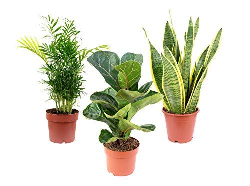 3er-Set Zimmerpflanzen Premium - Bergpalme, Geigenfeige, Bogenhanf - Höhe ca. 40 cm, Topf-Ø 12 cm