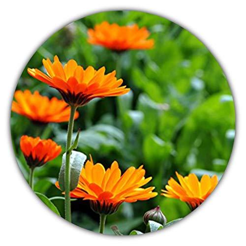 Ringelblume/Calendula officinalis/ca. 50 Samen/Heilpflanze (entzündungshemmend) / für Tee- und...