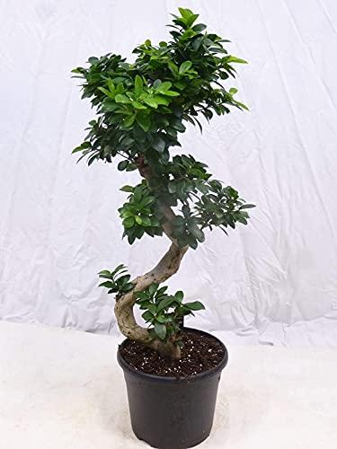 [Palmenlager] - Ficus microcarpa GINSENG 70/80 cm - // Zimmerpflanze BONSAI